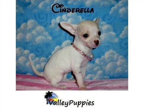 pomeranian puppies for sale in mcallen 17 best ideas about chihuahua on mini puppies teacup dogs and teacup