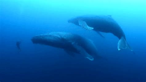 wale gif whales humpback gif find share on giphy