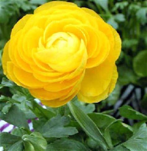 ranuncolo fiore coltivazione ranuncolo