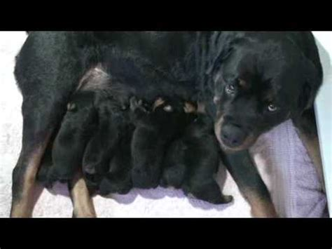 marlos rottweilers six day rottweiler puppies tell no tails