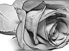 Pencil drawings charcoal drawings and art galleries rose flowers art