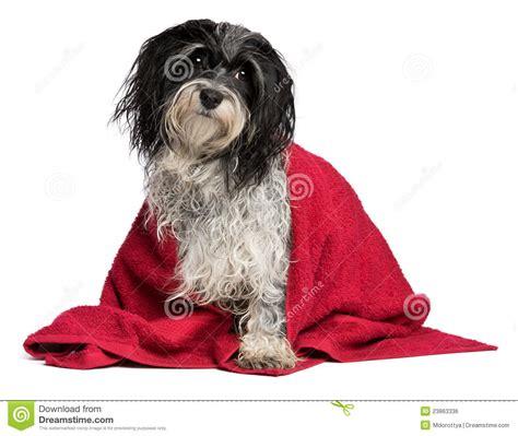 perro havanese perro havanese mojado con una toalla roja imagen de archivo libre de regal 237 as