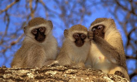 nicko the tale of a vervet monkey on an farm books south africa safaris