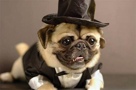 pug tuxedo pug tuxedo louis wedding