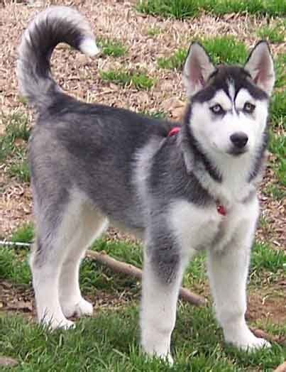 siberian husky puppy price 17 best images about siberian husky sale in ludhiana on wolves