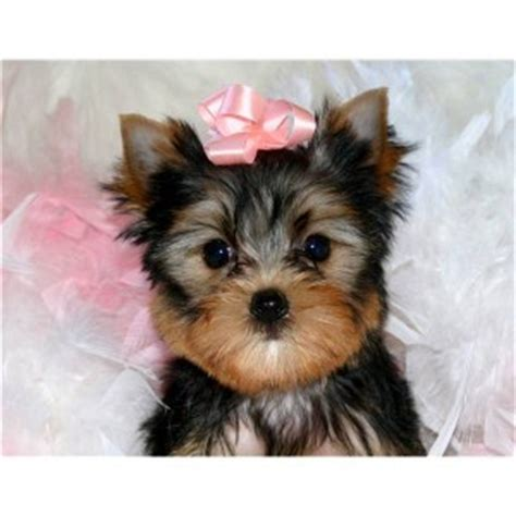 yorkie puppies albuquerque dogs new mexico free classified ads