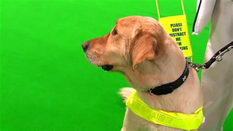 golden retriever blind guide unsighted footage stock