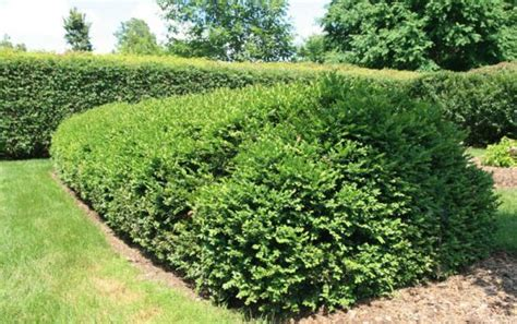 low growing evergreen shrubs gardening landscaping pinterest