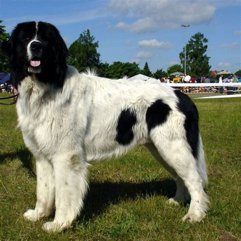 breeds that start with l breeds beginning with l pet paw