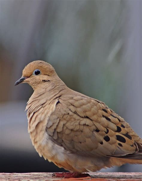 1000 images about mourning doves on pinterest ontario