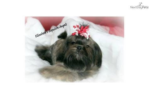 silver shih tzu puppies for sale meet doodlebug a shih tzu puppy for sale for 350 akc gorgeous silver brindle
