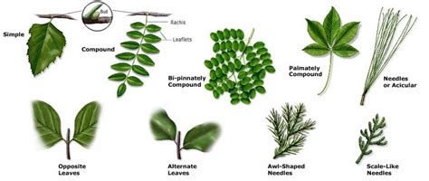 the pattern of leaf arrangement is called texas forest a m service trees of texas how to id