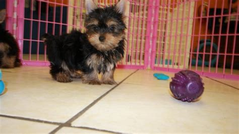 teacup yorkie shedding pretty tea cup terrier puppies for sale in at puppies for sale