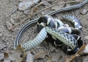 Whats A Trellis Related Keywords Amp Suggestions For Eastern Kingsnake