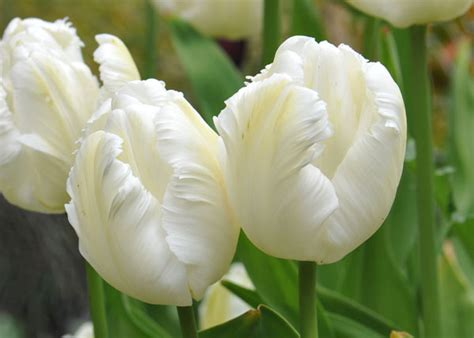 buy parrot tulip bulbs tulipa white parrot delivery by