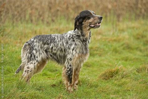 english setter pointer dog breeds english setter fci group 7 pointers setters