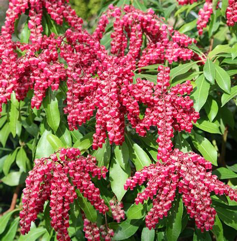 pieris japonica valley buy of the valley shrub pieris japonica valley