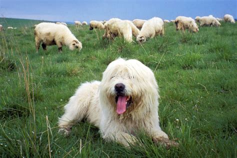 lowland sheepdog puppies for sale lowland sheepdog puppies for sale from reputable breeders