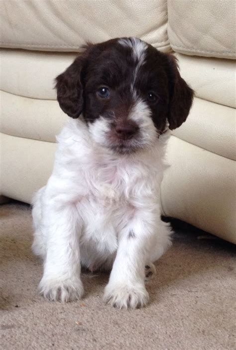 fabulous non non moulting sproodle puppies llanarth