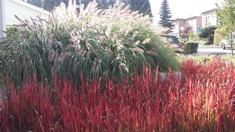 tuin van de baron imperata cylindrica red baron pennisetum alopecuroides