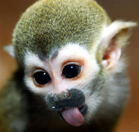funny face monkey pictures: squirrel monkey sticking its