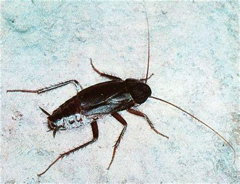 scarafaggio volante scarafaggi pescara disinfest