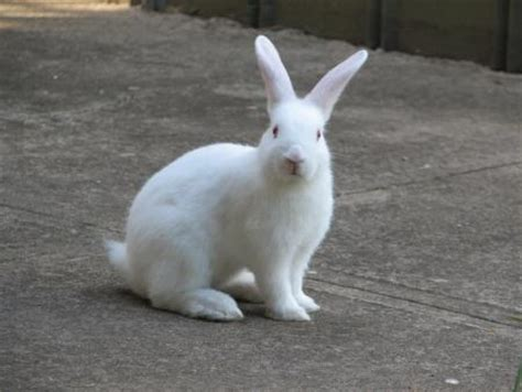 12 Md Rabbit Bery White white rabbit photos wallpaper