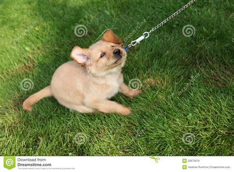 how to a stubborn puppy stubborn royalty free stock images image 20675679
