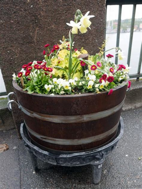 daffodil in planter with other white flowers jpg hi