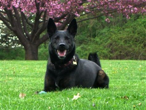 how are dogs trained to smell drugs colorado trained to ignore marijuana toke of the town