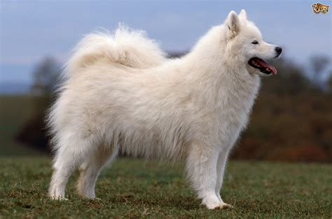 fluffy puppy breeds some more information about the samoyed breed pets4homes