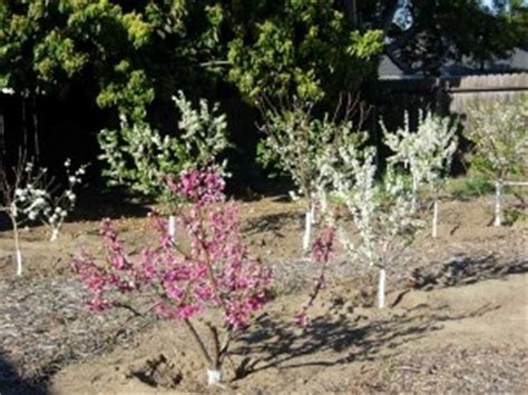 Small Backyard Orchard by Backyard Orchard Culture Evergreen Nursery
