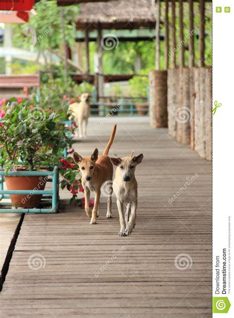 how to two dogs to walk on a leash two dogs walk on wooden way stock photo image of three 72680806