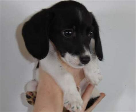 black and white beagle puppies beagle pup in white and black jpg