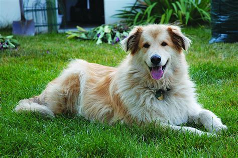 golden retriever husky mix price golden retriever husky mix goberian puppies