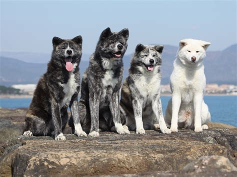 four dogs four akita inu dogs photo and wallpaper beautiful four akita inu dogs pictures