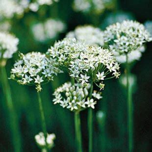 fiori d aglio patate novelle con salciccia e fiori d aglio fresco
