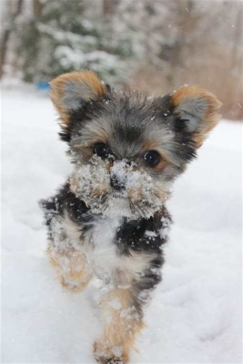 yorkie rescue manchester 17 best images about yorkie poo on poodles puppys and yorkie