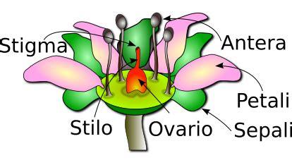struttura fiore fiore appunti di botanica