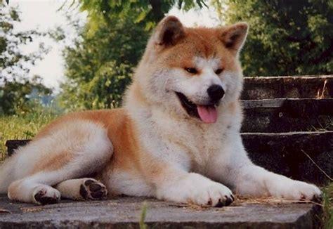 cani da appartamento tranquilli di piccola taglia akita cani taglia grande akita