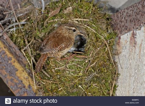 winter wren at nest stock photo 19061236 alamy