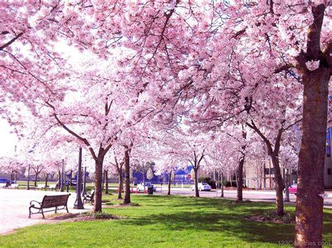 japanese cherry blossom tree national tree of japan cherry blossom 123countries com