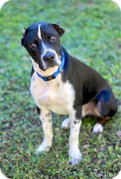 great dane puppies san antonio flynn adopted san antonio tx great dane pointer mix