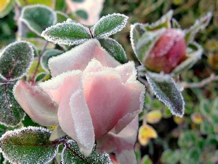 Frozen Pink Flower frozen pink flowers nature background wallpapers