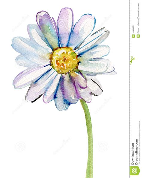 camomile flower watercolor illustration stock