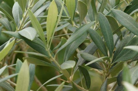 baum im garten pflanzen 2760 olivenbaum richtig pflanzen tipps f 252 r garten und topf