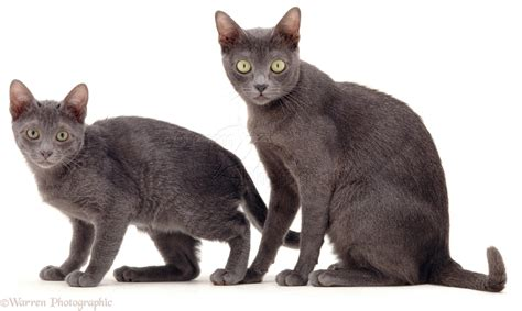 cat and korat cat and kitten photo wp04652