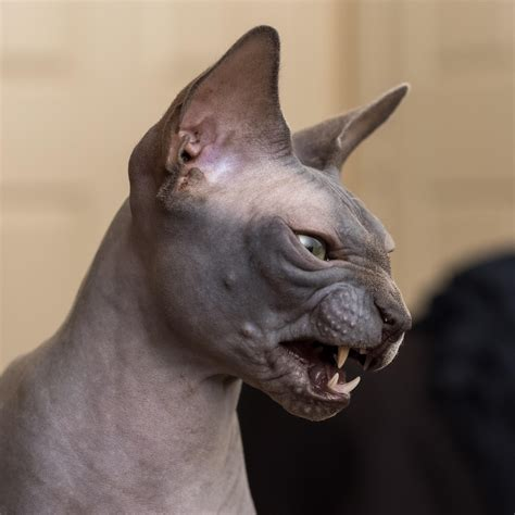 cat hair psbattle this angry cat with no hair photoshopbattles