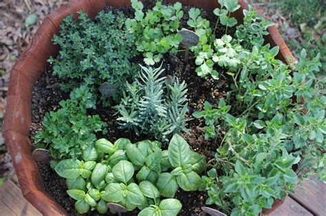 herbal garden thyme for herbs iii carolina charm