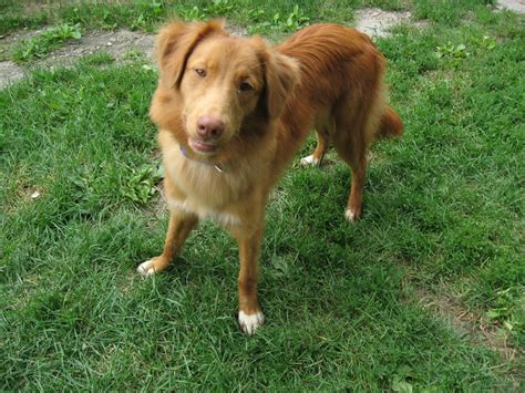 golden retriever rescue ns scotia duck tolling retriever rescue